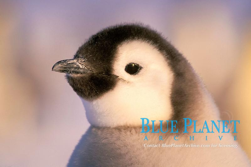 emperor penguin, Aptenodytes forsteri, chick, Cape Washington, Antarctica
