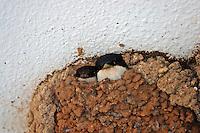 Mehlschwalbe, Mehl-Schwalbe, Mehl - Schwalbe in ihrem Lehmnest, Nest, Delichon urbicum, Delichon urbica, House Martin, Hirondelle de fenêtre