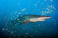 sand tiger shark, Carcharias taurus, swims near a shipwreck in the Graveyard of the Atlantic offshore Morehead City, North Carolina, USA, Atlantic Ocean