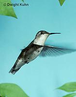 HU11-029x  Ruby-throated Hummingbird - juvenile bird flying -  Archilochus colubris