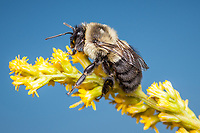 A Common Eastern Bumble Bee (Bombus impatiens) perches on a Goldenrod flower.