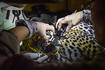 Project Oncafari vet, Joares May takes teeth / jaw measurements of a young female jaguar trapped after a cow had been killed. Caiman Lodge, Oncafari Project, southern Pantanal, Mato Grosso do Sul, Brazil.