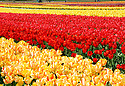Yellow and Red Tulips dominate the palate of colorful Tulips at Tulip Town in Mount Vernon, WA. during the Skagit county annual Tulip festival.