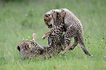 THE KARATE CUB - Showing their Kung Fu moves.<br /> <br /> Pictured: Cheetah cub bounding around in the grass.<br /> <br /> Energetic cheetah cubs keep their mother busy as they bounce around.  The adult female can be seen putting up with her three month old cubs as they jumped up at her and rolled around together playfighting.<br /> <br /> The heartwarming images of the cheetah family were captured at the Maasai Mara National Reserve in Kenya by photographer Fabrizio Bignotti, 57.   SEE OUR COPY FOR DETAILS<br /> <br /> Please byline: Fabrizio Bignotti/Solent News<br /> <br /> © Fabrizio Bignotti/Solent News & Photo Agency<br /> UK +44 (0) 2380 458800