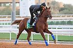 RIYADH, SA February 19 2021:CHARLATAN (USA) Track work from King Abddulaziz Racetrack, Riyadh, Saudi Arabia. Shamela Hanley/Eclipse Sportswire/CSM