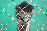 Stock image of Emu peeking out from iron wire fence in zoo.