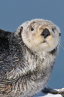 Alaskan or Northern Sea Otter (Enhydra lutris)