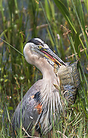Great Blue Heron with a very large fish impaled on beak