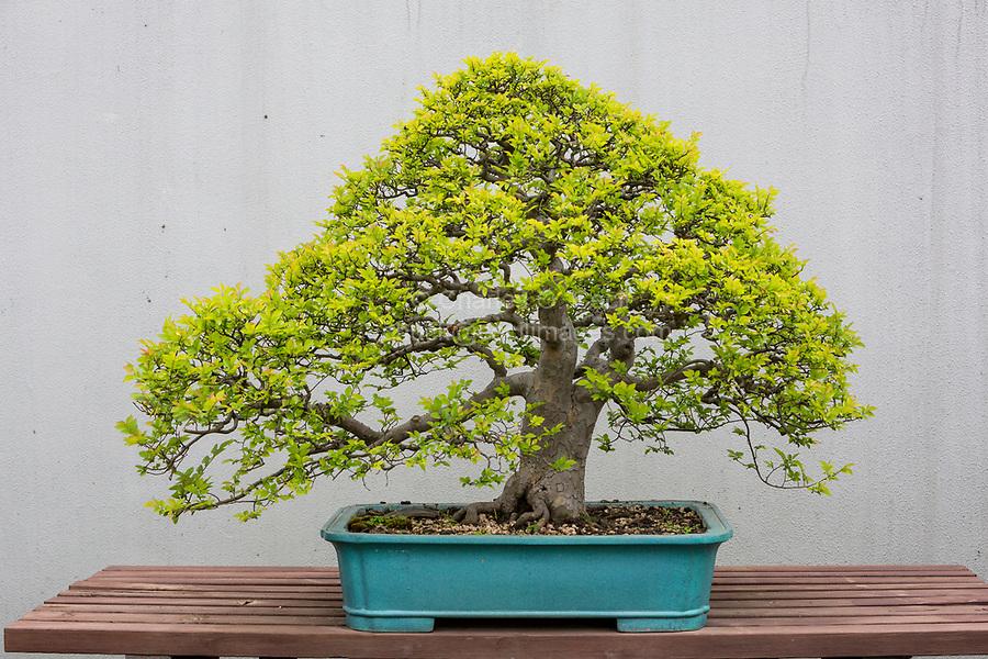 Yangzhou, Jiangsu, China.  Bonsai Tree, Bonsai Garden, Slender West Lake Park.