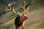 American elk, wapiti, Cervus elaphus, bull, antlers, alpine, morning, wildlife, mammal, nature, summer, July, Trail Ridge, high elevation, Rocky Mountain National Park, Colorado, USA