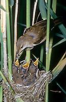 Teichrohrsänger, Altvogel füttert bettelnde, sperrende Küken im Nest, Teich-Rohrsänger, Rohrsänger, Acrocephalus scirpaceus, reed warbler