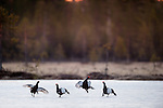 Male Black Grouse (Tetrao tetrix) - two pairs of males fighting on frozen lake at sunrise. Late April 2012, Kuhmo, Finland