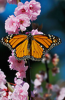 Monarch butterfly (Danaus plexippus) near Monterey Bay, CA.  Feb.