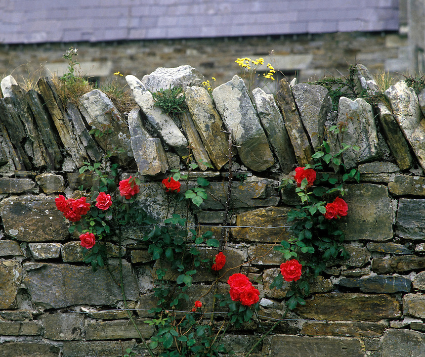 Stone wall with roses, Ireland