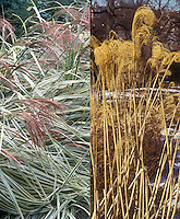 Miscanthus sinensis Variegata in two phases, summer flowers and winter dried ornamental grass