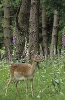 Damhirsch, Dam-Hirsch, Damwild, Weibchen, Kuh, Dam-Wild, Cervus dama, Dama dama, fallow deer