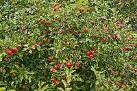 Ripe apples on tree.