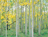 A close up view of an aspen forest in fall color. San Juan Mountains, Colorado