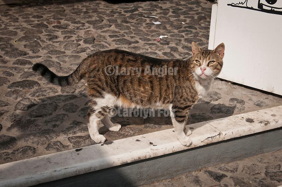 Tabby cat on the street, Fira, Santorini (Thira), Greece