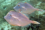 Aluterus schoepfii, Orange filefish, Florida Keys