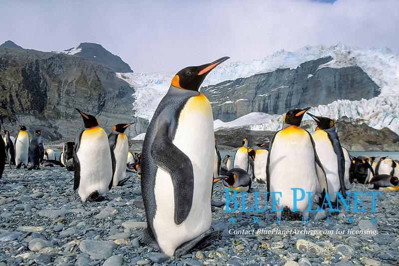 king penguins, Aptenodytes patagonicus, South Georgia Island, U.K.