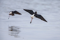 Pied Stilt (Himantopus leucocephalus) landing in the New River Estuary, Invercargill, Southland, New Zealand.