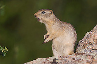Wyoming Ground Squirrel,Spermophilus elegans,adult on rock calling,Rocky Mountain National Park, Colorado, USA