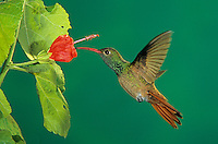 Buff-bellied Hummingbird, Amazilia yucatanenensis, adult feeding from Turk's Cap (Malvaviscus drummondii) , Welder Wildlife Refuge, Sinton, Texas, USA