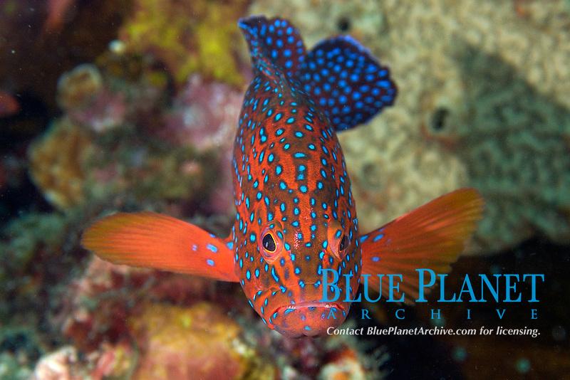 Coral grouper, Cephalopholis miniata, Sabang wreck, Puerto Galera, Mindoro, Philippines, Pacific Ocean