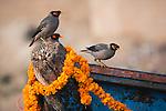 Common myna birds, Allahabad, India