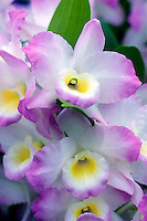 Dendrobiums Sailor Boy with pink and white picotee flowers with contrast throated yellow lip, a Himalayan nobile hybrid