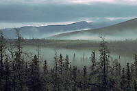 Northern Coniferous Boreal Forest, NWT, Northwest Territories, Canada - Tamarack Larch (Larix laricina) and Black Spruce (Picea mariana) in Fog