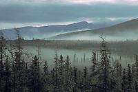 Northern Coniferous Boreal Forest, NWT, Northwest Territories, Canada - Tamarack Larch (Larix laricina) and Black Spruce (Picea mariana) in Fog