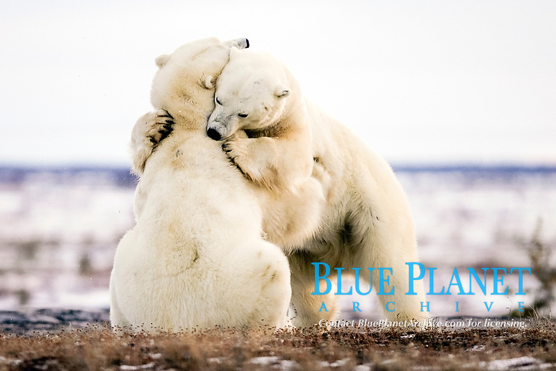 Adult male Polar Bears, Ursus maritimus, in ritualistic fighting stance, injuries are rare, near Churchill, Manitoba, Canada., polar bear, Ursus maritimus
