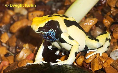 FR24-540z   Dyeing Poison Dart Frog, Dendrobates tinctorius,'Giant Orange morph', South America