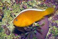 Orange Skunk Clownfish (Amphiprion sandaracinos) (c)