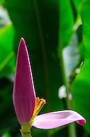A close-up of a banana flower in sunlight, Big Island of Hawai'i.
