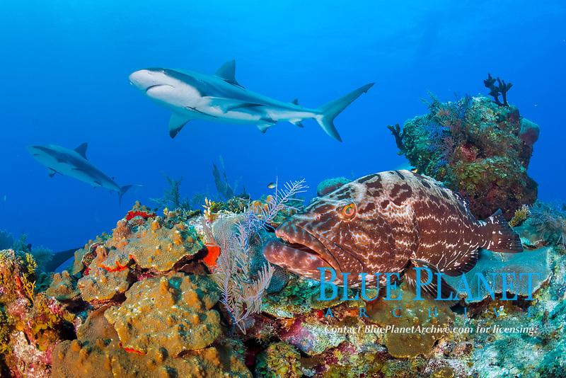 black grouper, Mycteroperca bonaci, and Caribbean reef shark, Carcharhinus pereziii, coral reef, Gardens of the Queen, Jardines de la Reina, Jardines de la Reina National Park, Cuba, Caribbean Sea, Atlantic Ocean