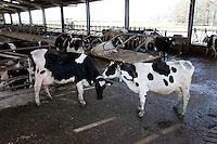 Photo: Richard Lane/Richard Lane Photography. Intensive dairy cows in Somerset. 29/03/2012.