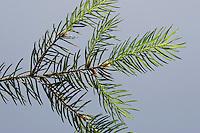 Gewöhnliche Fichte, Rot-Fichte, Rotfichte, Picea abies, Nadeln, Blätter, Blatt vor blauem Himmel, Common Spruce