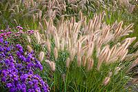 Fountaingrass Pennisetum alopecuroides (aka swamp foxtail grass) with flowering seed head stalks in autumn grass garden