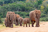 African bush elephants (Loxodonta africana), walking herd with calves crossing a dirt road, Addo Elephant National Park, Eastern Cape, South Africa, Africa