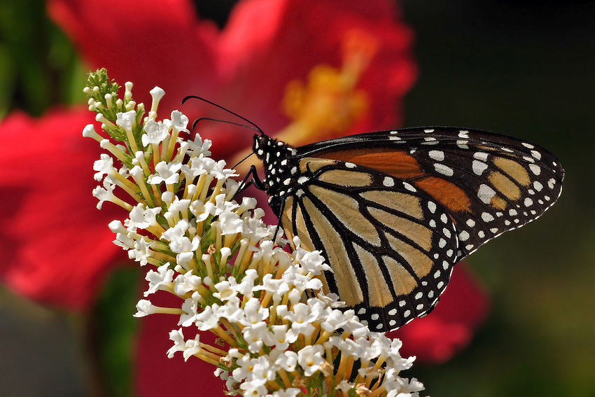 Monarch Butterfly with Hibiscus backrgound, on a butterfly bush.