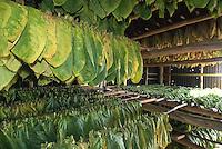 Cuba, Trocknen von Tabak bei Pinar del Rio