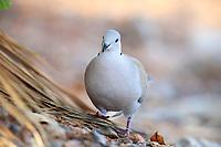 Eurasian Collared-Dove (Streptopelia decaocto decaocto), foraging in Papago Park, Phoenix, Arizona.
