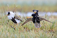During the brief arctic summer, most male shorebirds arrive on partially thawed tundra breeding grounds where they perform elaborate courtship displays and vocalizations. None are more spectacular or unique than the lek mating sysytem employed by the Ruff (Philomachus pugnax). Norway. June.