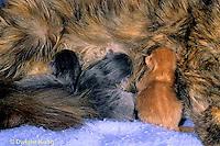 SH30-004z  Cat - mother nursing new born kittens