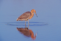 Reddish Egret, Egretta rufescens,adult, Ding Darling National Wildlife Refuge, Sanibel Island, Florida, USA