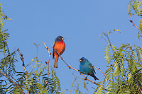 Painted Bunting (Passerina ciris), male and Indigo Bunting (Passerina cyanea) male perched, Sinton, Corpus Christi, Coastal Bend, Texas, USA