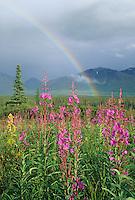 Rainbow over fireweed blossoms in the tundra of broad pass, Alaska Range mountains, Interior, Alaska